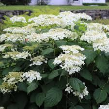 white hydrangea hydrangea aborescens haas rsquo halo white flower farm
