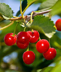 Cherry Tree Fruit - learn about cherry trees