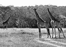 giraffes by emmakate wright