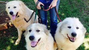 belgian shepherd ontario breeders top 15 dog breeds most likely to be
