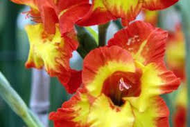 gladiolus flowers does gladiolus flower more than once per season home guides