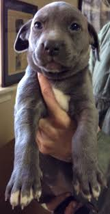 american pit bull terrier lab mix best 10 lab puppies for adoption ideas on pinterest happy lab