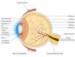 Picture Of Eye Anatomy Why Are My Eyes Yellow