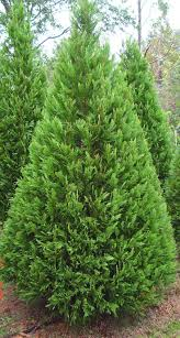 11 best 杂交速生柏 cupressus leighton u0027green u0027 images on pinterest
