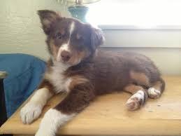 8 month australian shepherd lost pets success stories davis localwiki