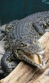 crocodile wallpaper android apps on google play