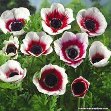 anemone flowers bicolor anemone windflower american
