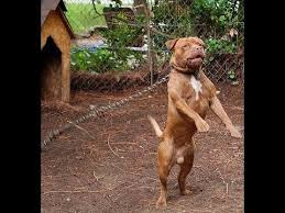 american pitbull terrier akc american pit bull terrier breed standard and character youtube