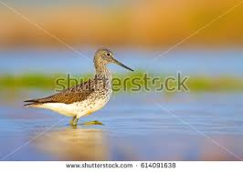 sandpiper stock images royalty free images u0026 vectors shutterstock