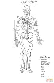 human skeleton worksheet coloring page free printable coloring pages