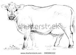 28 best cow images on pinterest cow cows and stock photos