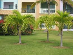 different types of trees loved all the different types of palm trees picture of ocean blue