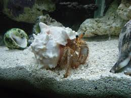 Halloween Hermit Crab by White Spotted Hermit Crab Help Reef2reef Saltwater And Reef