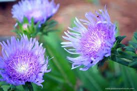 louisiana native plants stokes aster beautiful and blue