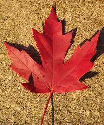acer saccharinum silver maple leaf fall colors newar u2026 flickr