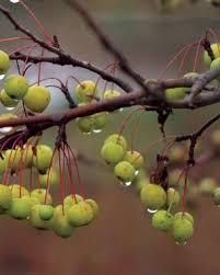 8 trees and shrubs with showy fall fruit gardening