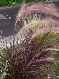 care of purple grass how to grow purple grass
