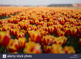 Tulip Field Tulip Fields Amsterdam Stock Photos U0026 Tulip Fields Amsterdam Stock