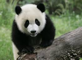imagenes de animales carnivoros para imprimir los genes del oso panda muestran que es carnívoro aunque se alimente