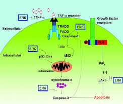a death promoting role for extracellular signal regulated kinase