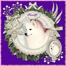 american eskimo dog ontario american eskimo dog breeder wachusett american eskimos