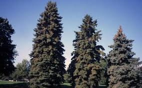 blue spruce trees if trees could sing webb wilder the blue spruce the nature
