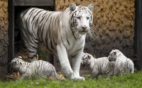 and white tiger cubs emirates 24 7