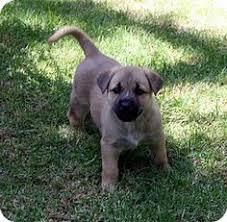 australian shepherd san diego san diego ca german shepherd dog australian shepherd mix meet