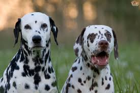 dalmatian dog breed information buying advice photos facts