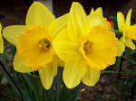 File:Yellow flower.JPG - Wikipedia, the free encyclopedia