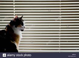 calico cat sitting in front of closed venetian window blinds