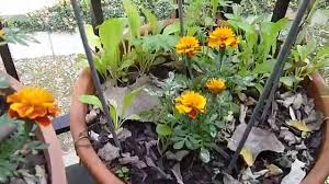 apartment balcony gardening diy iii fall harvest basil peppers