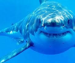 japanese aquarium great white shark dies in captivity in japanese aquarium