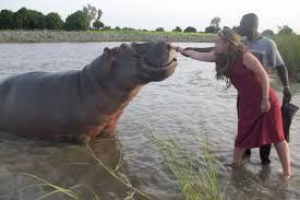 si e social hippopotamus up station mountain picture of the day hippo on the