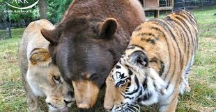 how a lion tiger and bear became ride or die friends huffpost
