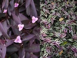 types of purple 2 types pretty purple wandering jew indoor outdoor house