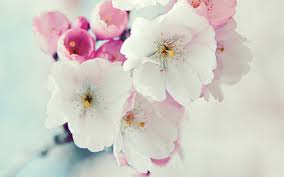 cherry flowers wallpapers 60 beautiful flowers wallpapers wallpaper wednesday hongkiat