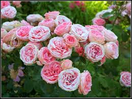 types of roses with names comousar