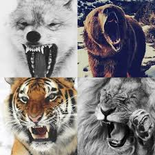 best animals 3 wolf tiger and 33 i they 33 33