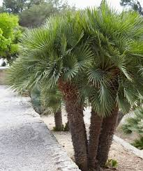 best 25 palm trees for sale ideas on bamboo trees for