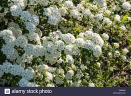 small white flowers small white flowers of spiraea in morning stock photo