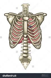 Human Anatomy Torso Diagram Picture Of Torso Anatomy Anatomy Of The Female Torso Organs