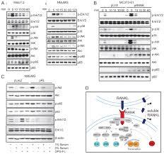 homotypic rank signaling differentially regulates proliferation