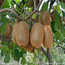Online Fruit Trees For Sale - kiwi fruit trees online kiwi fruit trees for sale