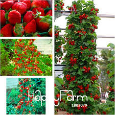 big promotion 400 pieces pack blue climbing strawberry tree seeds