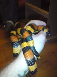 halloween snake pueblan milk snake reptile forums