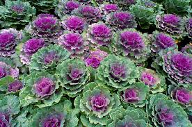 ornamental kale plant stock photography image 29385082