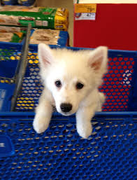 american eskimo dog forum this is bruno our 3 month old american eskimo dog imgur