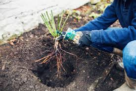 how to plant a bare root climbing rose advice u0026 inspiration
