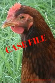 confessions of a backyard chicken farmer the case of the stolen
